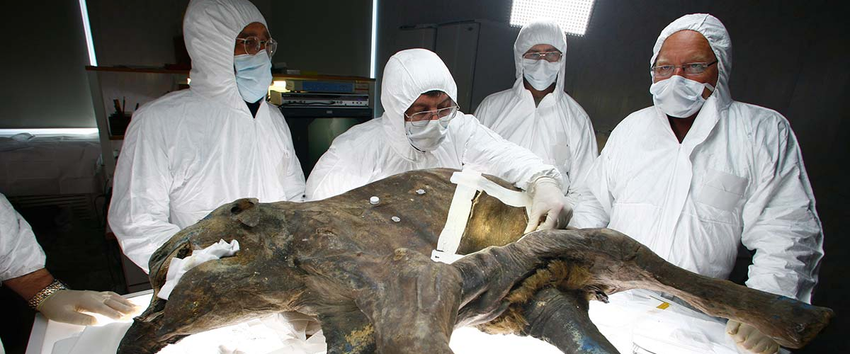 Британский генетик получил средства на воскрешение шерстистого мамонта