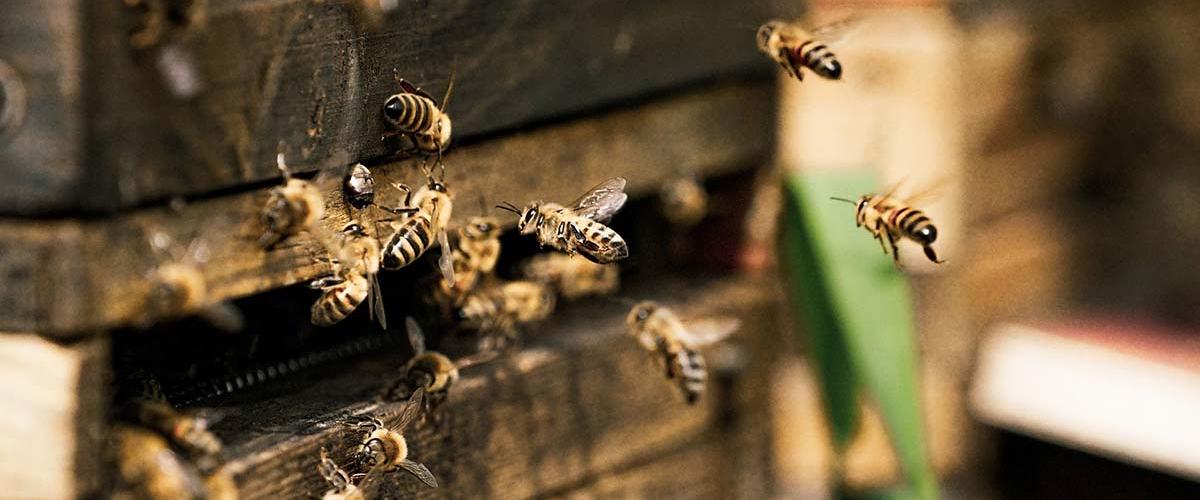 С пчелами что-то происходит: за 30 лет в мире исчезло 25% видов пчел