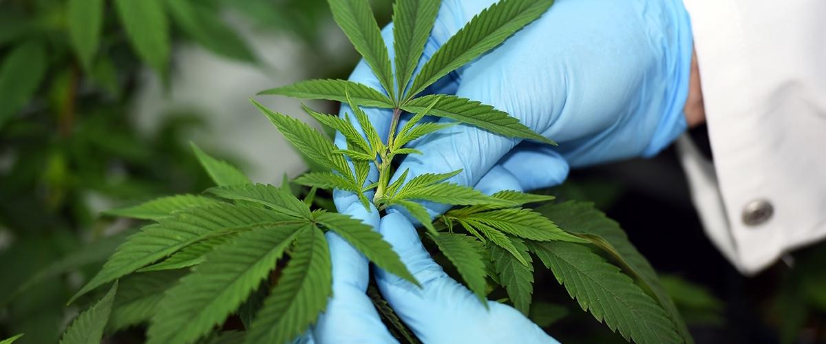 Акне от марихуаны конопля посевная семена купить