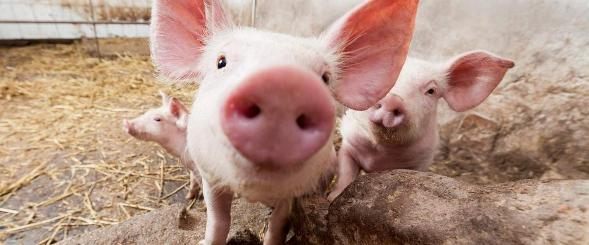 Биологи вырастили новую печень в лимфатических узлах свиней