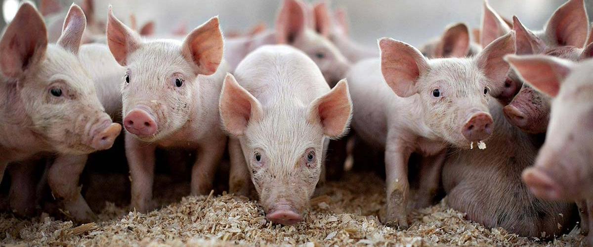Массовая трансплантация органов от ГМО-свиней людям начнется в 2022 году